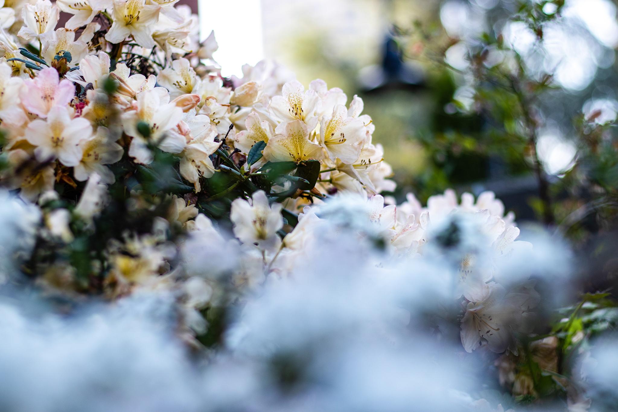Flowers Bloom Throughout Seattle U's Campus Gardens