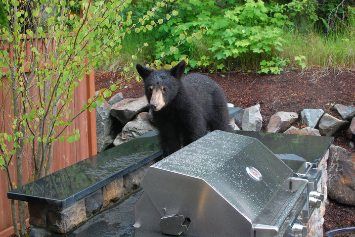 The Seattle Urban Carnivore Project monitors specific species that have been seen near developed areas in Seattle, such as the black bear.